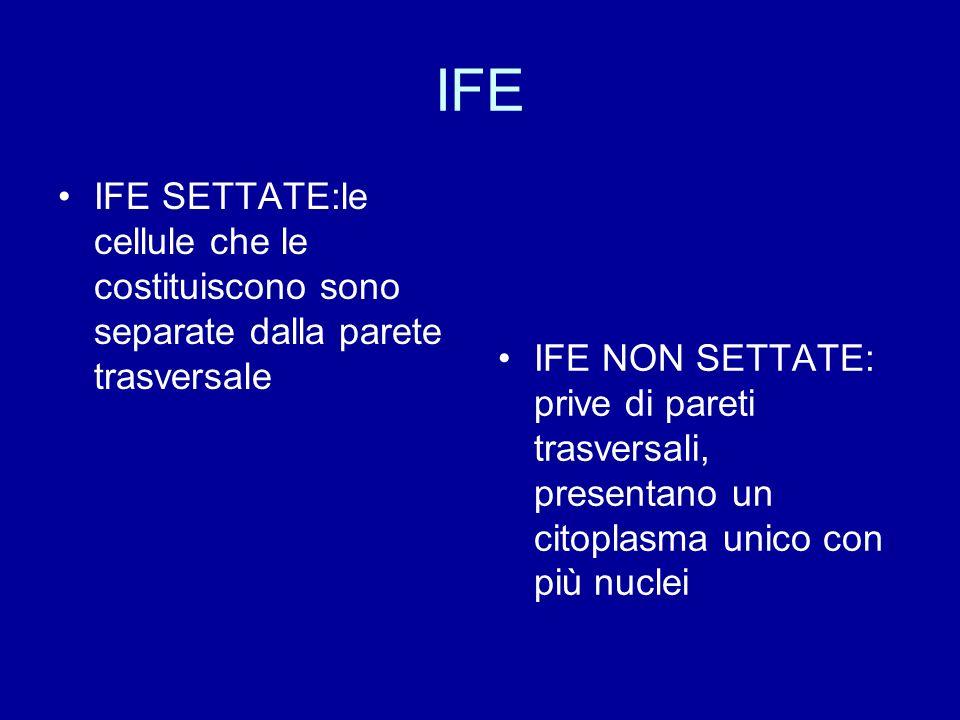 IFE IFE SETTATE:le cellule che le costituiscono sono separate dalla parete trasversale IFE NON SETTATE: prive di pareti trasversali, presentano un cit
