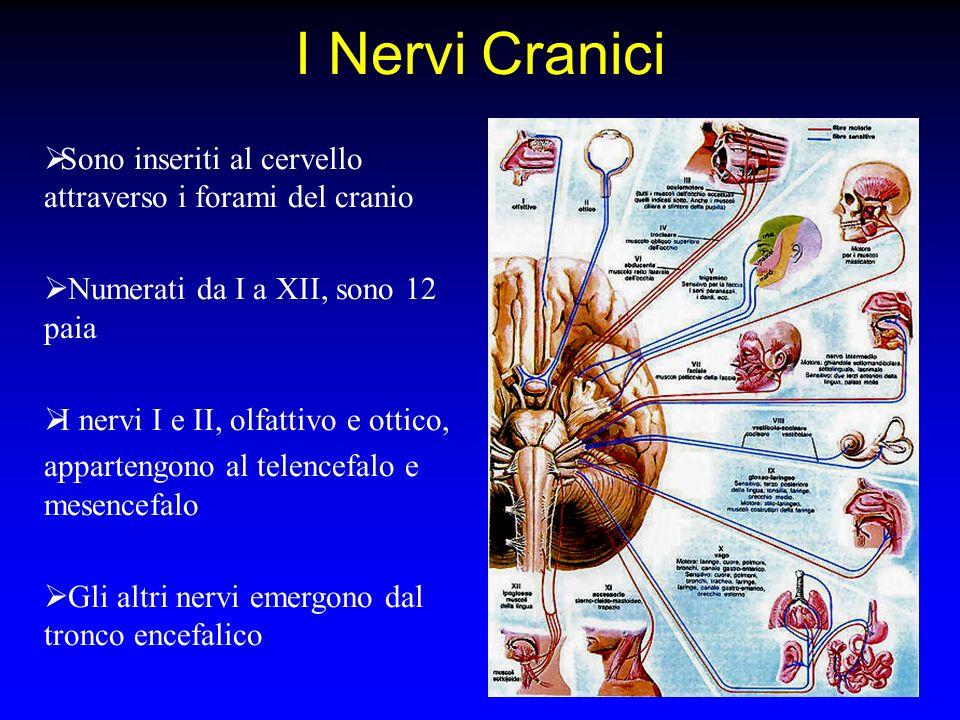 I Nervi Cranici Sono inseriti al cervello attraverso i forami del cranio Numerati da I a XII, sono 12 paia I nervi I e II, olfattivo e ottico, apparte