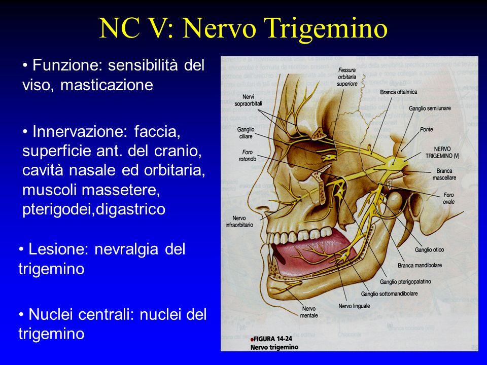 NC V: Nervo Trigemino Funzione: sensibilità del viso, masticazione Innervazione: faccia, superficie ant. del cranio, cavità nasale ed orbitaria, musco