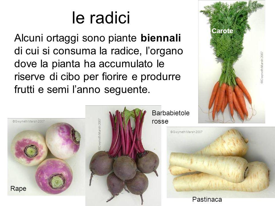 le radici Alcuni ortaggi sono piante biennali di cui si consuma la radice, lorgano dove la pianta ha accumulato le riserve di cibo per fiorire e produ