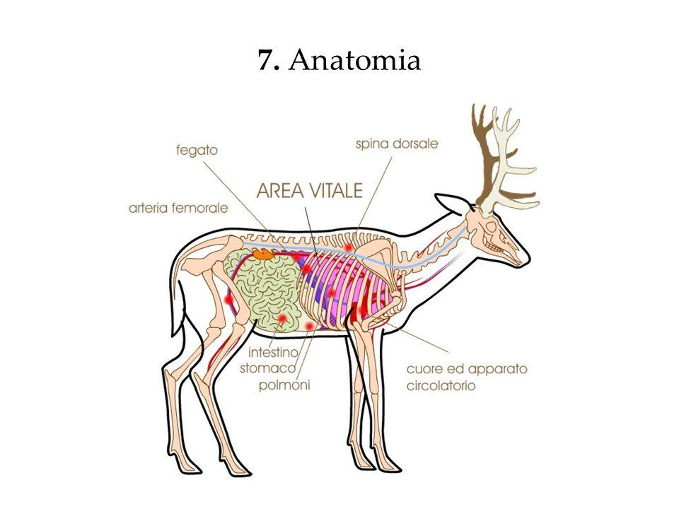 7. Anatomia
