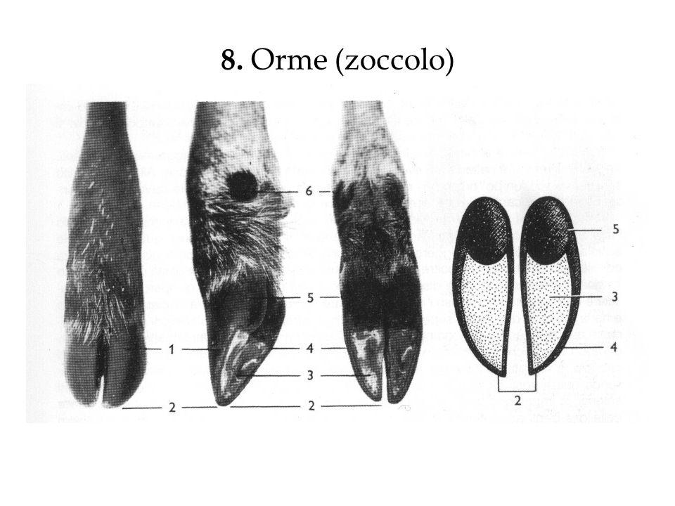 8. Orme (zoccolo)
