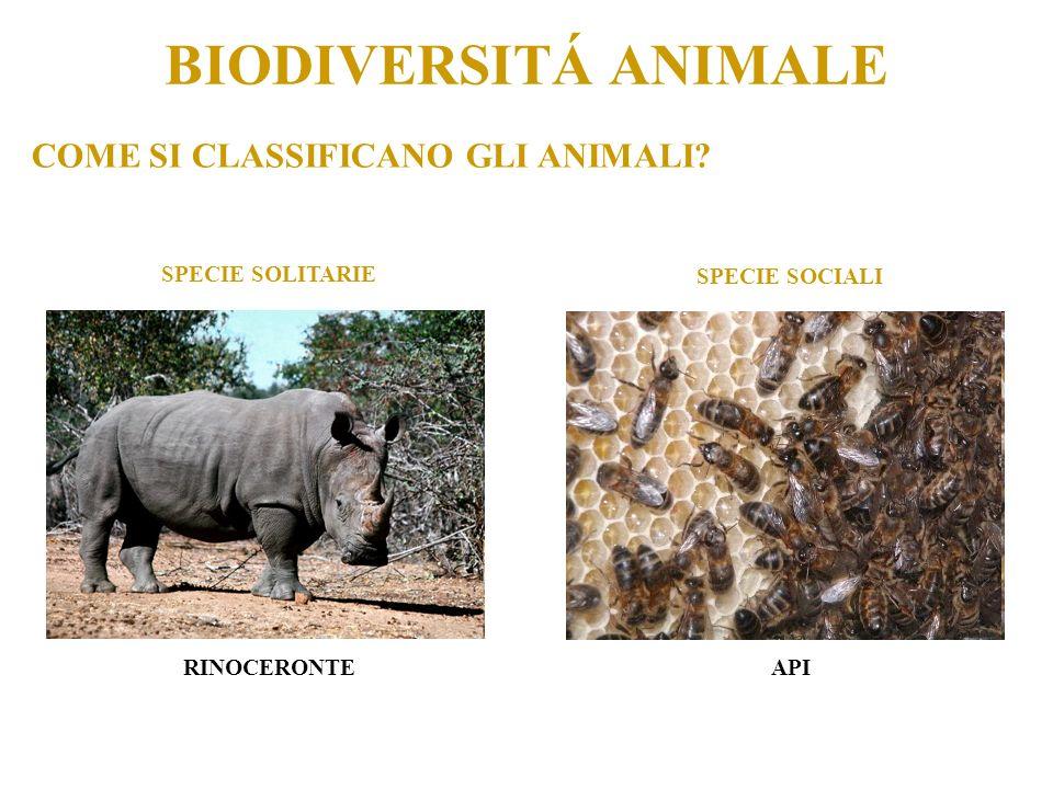 COME SI CLASSIFICANO GLI ANIMALI? BIODIVERSITÁ ANIMALE SPECIE SOLITARIE SPECIE SOCIALI RINOCERONTEAPI