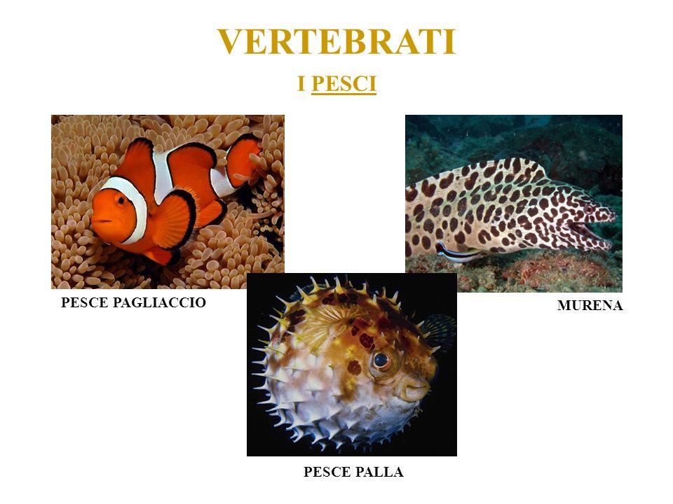 VERTEBRATI I PESCI PESCE PAGLIACCIO MURENA PESCE PALLA