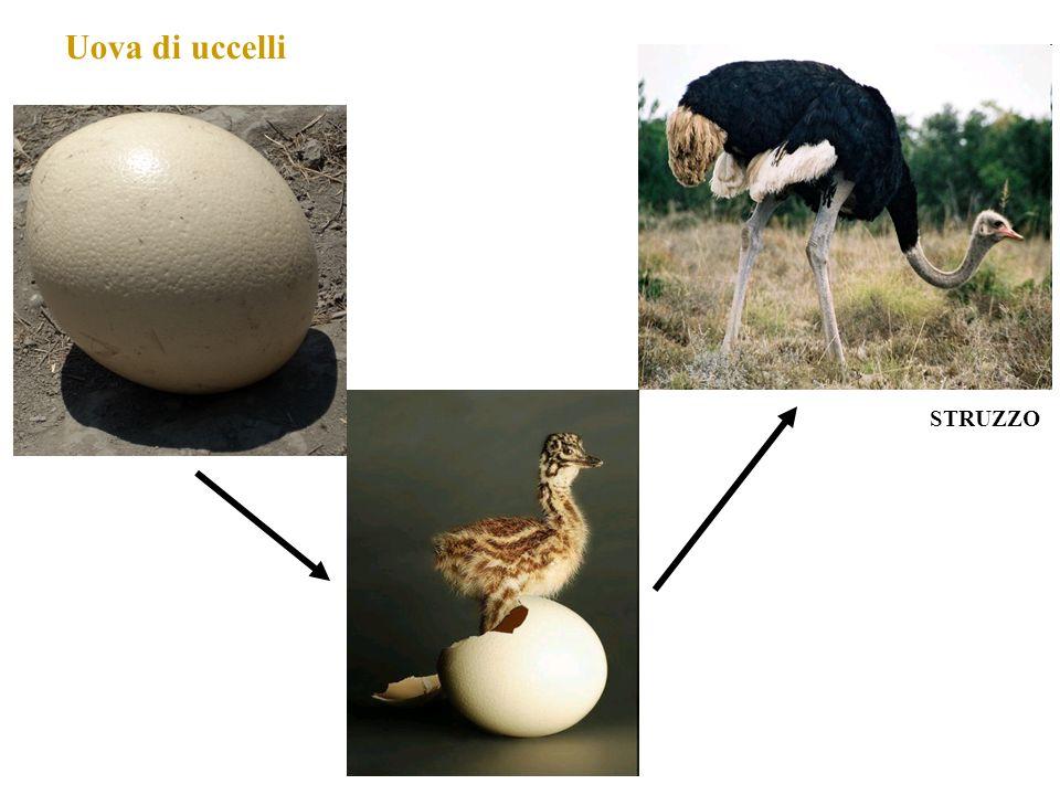 Uova di uccelli STRUZZO