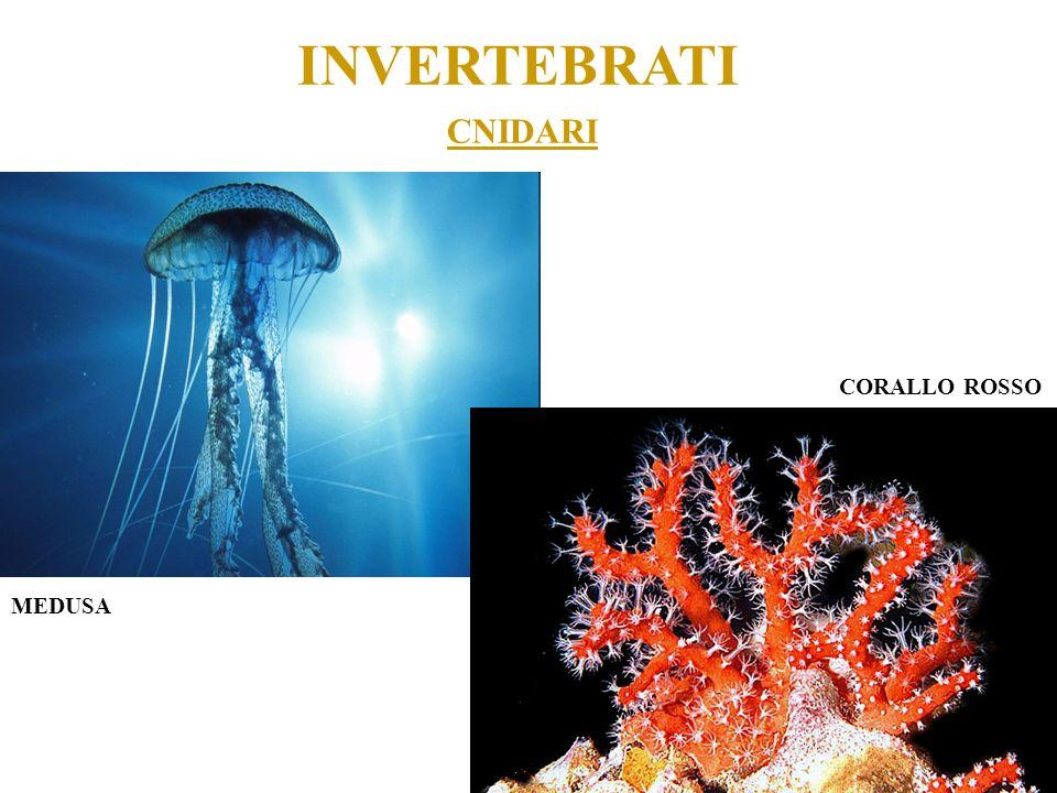 INVERTEBRATI CNIDARI CORALLO ROSSO MEDUSA