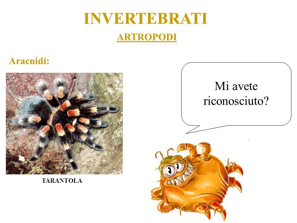ARTROPODI INVERTEBRATI Aracnidi: TARANTOLA Mi avete riconosciuto?