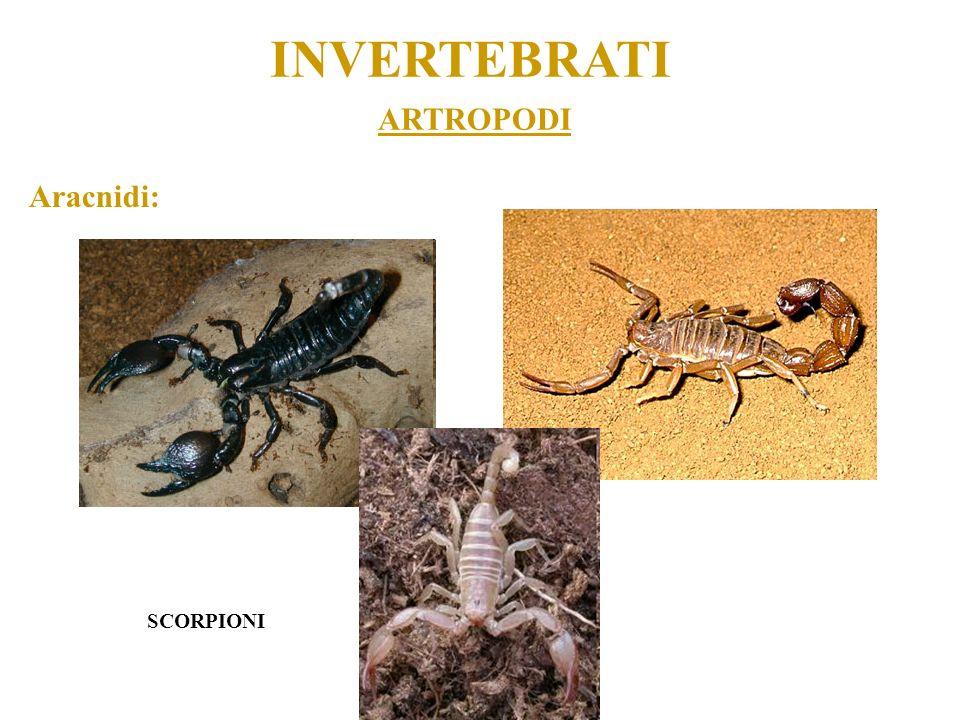 ARTROPODI INVERTEBRATI Aracnidi: SCORPIONI