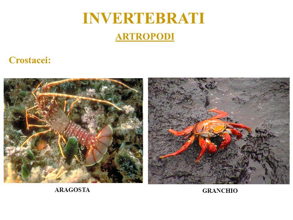 ARTROPODI INVERTEBRATI Crostacei: ARAGOSTA GRANCHIO