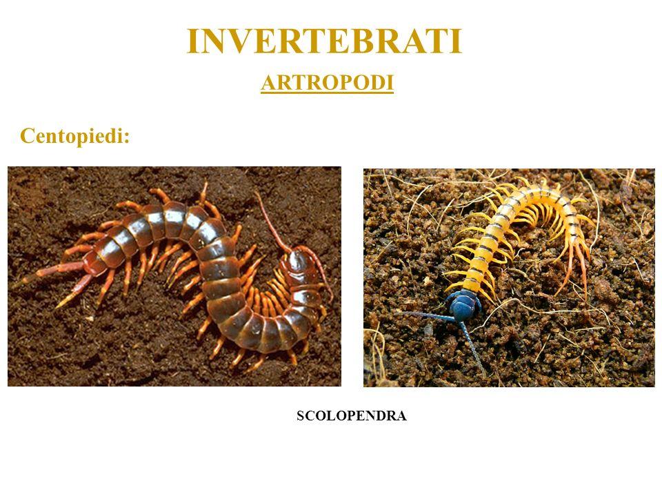 ARTROPODI INVERTEBRATI Centopiedi: SCOLOPENDRA
