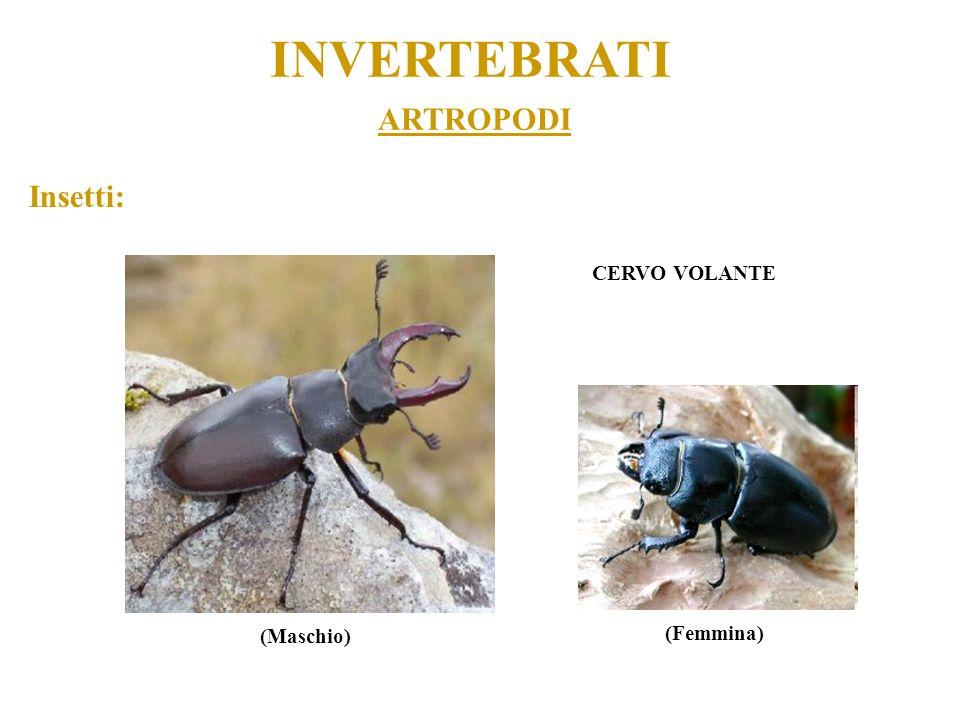 ARTROPODI INVERTEBRATI CERVO VOLANTE (Maschio) (Femmina) Insetti: