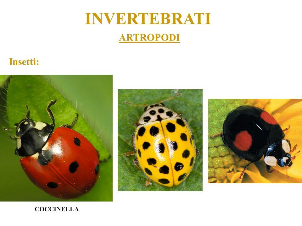 ARTROPODI INVERTEBRATI Insetti: COCCINELLA