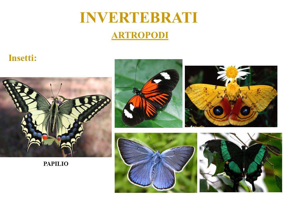 ARTROPODI INVERTEBRATI Insetti: PAPILIO