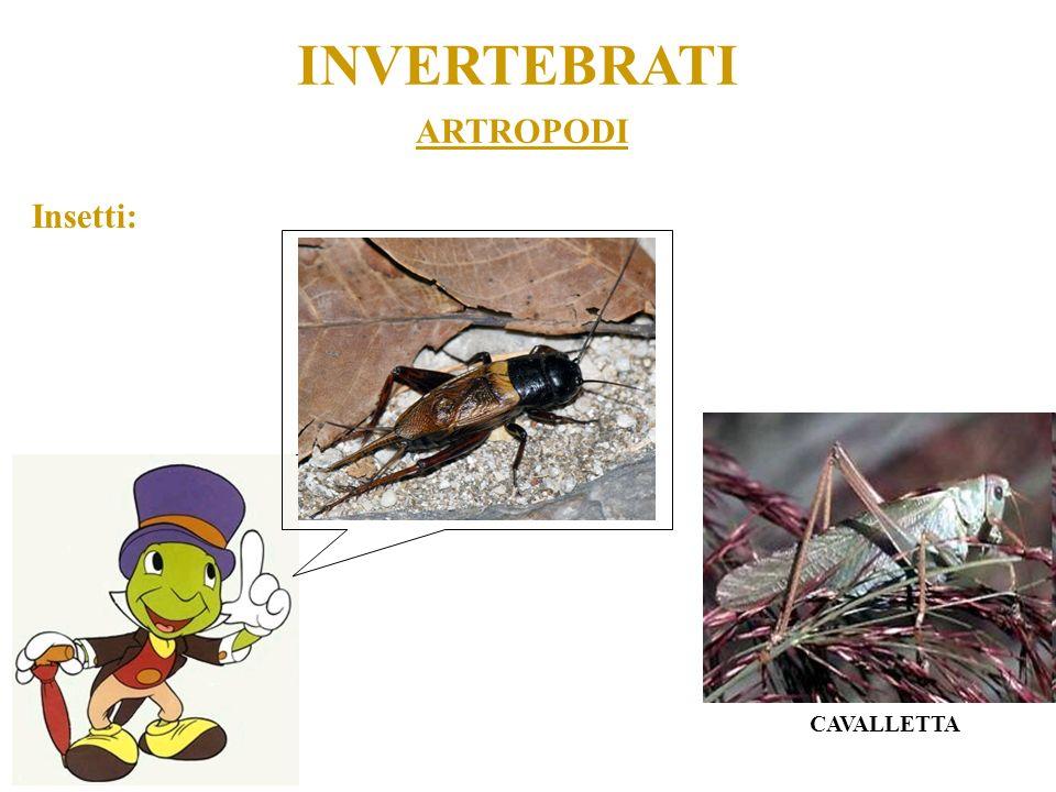 ARTROPODI INVERTEBRATI Insetti: CAVALLETTA