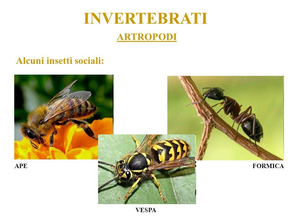 ARTROPODI INVERTEBRATI Alcuni insetti sociali: APEFORMICA VESPA