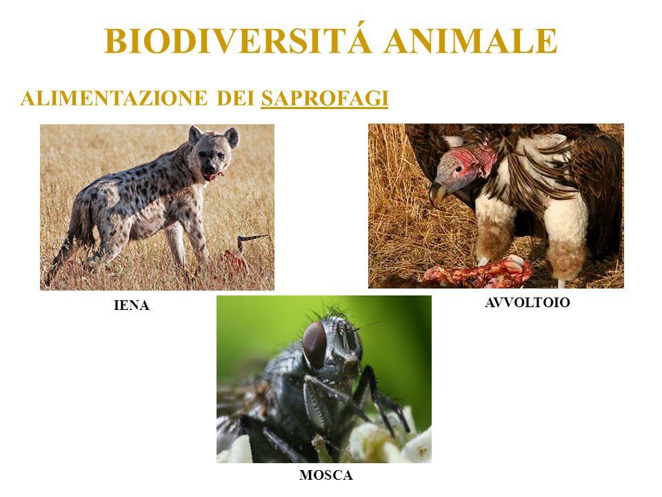 BIODIVERSITÁ ANIMALE ALIMENTAZIONE DEI SAPROFAGI IENA AVVOLTOIO MOSCA