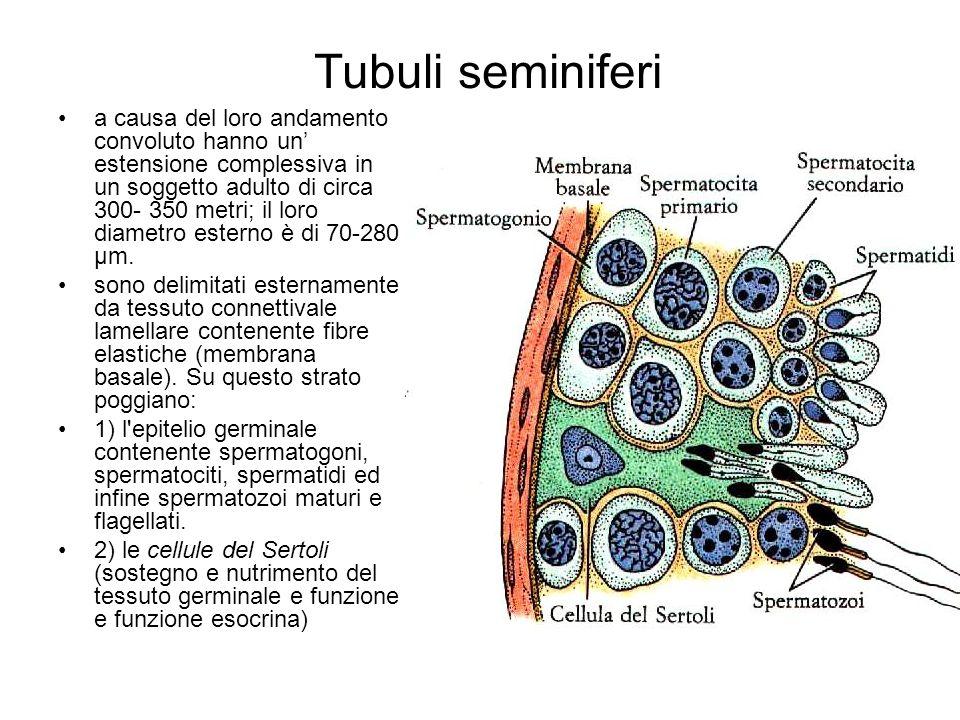 Tubuli seminiferi a causa del loro andamento convoluto hanno un estensione complessiva in un soggetto adulto di circa 300- 350 metri; il loro diametro