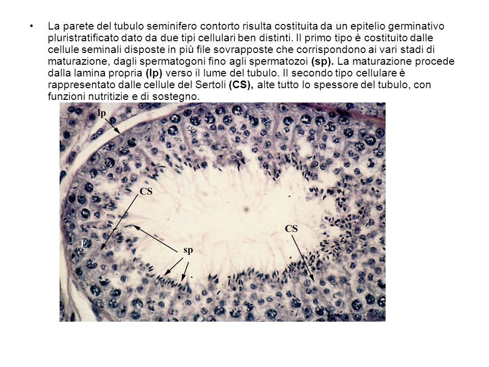 La parete del tubulo seminifero contorto risulta costituita da un epitelio germinativo pluristratificato dato da due tipi cellulari ben distinti. Il p