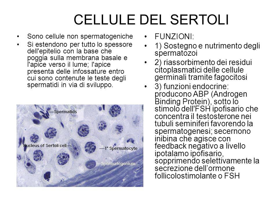 CELLULE DEL SERTOLI Sono cellule non spermatogeniche Si estendono per tutto lo spessore dell'epitelio con la base che poggia sulla membrana basale e l