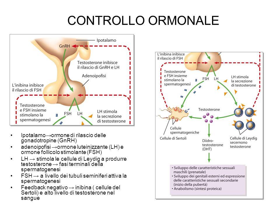 CONTROLLO ORMONALE Ipotalamoormone di rilascio delle gonadotropine (GnRH) adenoipofisi ormone luteinizzante (LH) e ormone follicolo stimolante (FSH) L