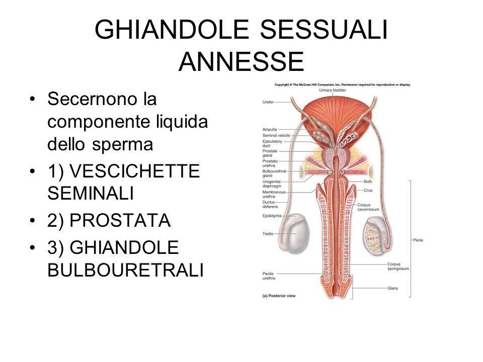GHIANDOLE SESSUALI ANNESSE Secernono la componente liquida dello sperma 1) VESCICHETTE SEMINALI 2) PROSTATA 3) GHIANDOLE BULBOURETRALI