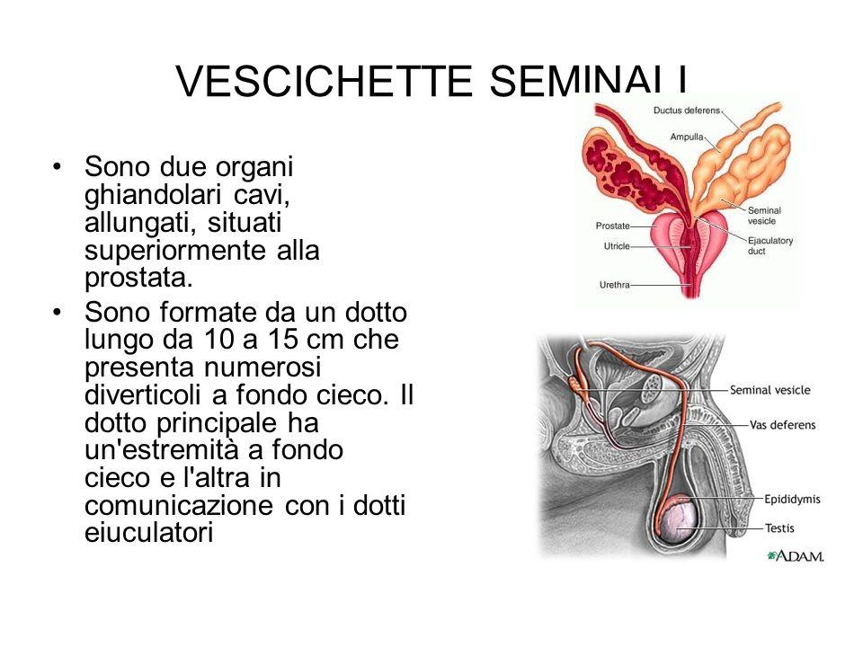 VESCICHETTE SEMINALI Sono due organi ghiandolari cavi, allungati, situati superiormente alla prostata. Sono formate da un dotto lungo da 10 a 15 cm ch