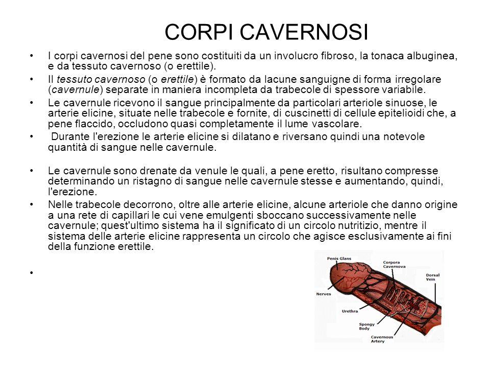 CORPI CAVERNOSI I corpi cavernosi del pene sono costituiti da un involucro fibroso, la tonaca albuginea, e da tessuto cavernoso (o erettile). Il tessu