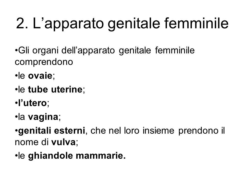 2. Lapparato genitale femminile Gli organi dellapparato genitale femminile comprendono le ovaie; le tube uterine; lutero; la vagina; genitali esterni,