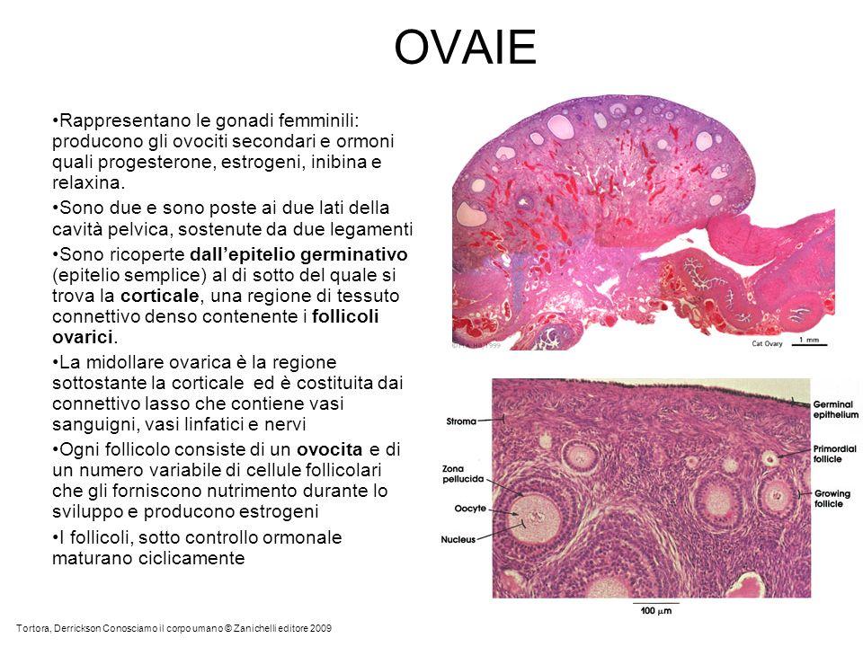 OVAIE Rappresentano le gonadi femminili: producono gli ovociti secondari e ormoni quali progesterone, estrogeni, inibina e relaxina. Sono due e sono p