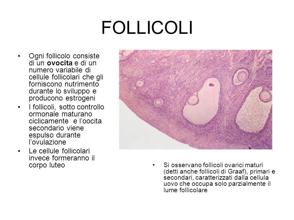 FOLLICOLI Ogni follicolo consiste di un ovocita e di un numero variabile di cellule follicolari che gli forniscono nutrimento durante lo sviluppo e pr