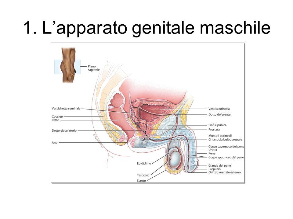 1. Lapparato genitale maschile