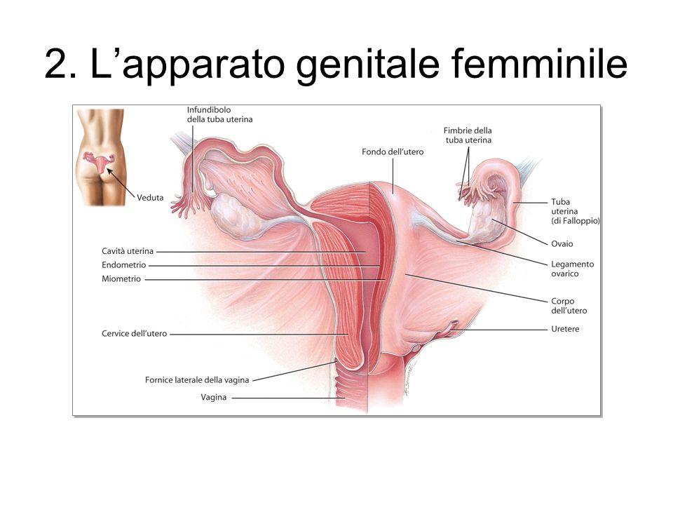 2. Lapparato genitale femminile
