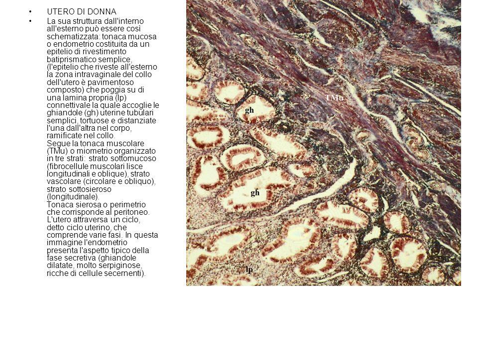 UTERO DI DONNA La sua struttura dall'interno all'esterno può essere così schematizzata: tonaca mucosa o endometrio costituita da un epitelio di rivest