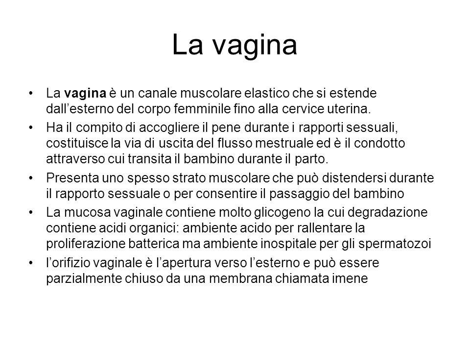 La vagina La vagina è un canale muscolare elastico che si estende dallesterno del corpo femminile fino alla cervice uterina. Ha il compito di accoglie