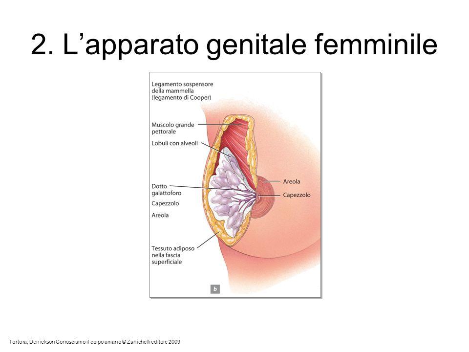 2. Lapparato genitale femminile Tortora, Derrickson Conosciamo il corpo umano © Zanichelli editore 2009