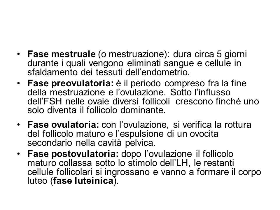 Fase mestruale (o mestruazione): dura circa 5 giorni durante i quali vengono eliminati sangue e cellule in sfaldamento dei tessuti dellendometrio. Fas