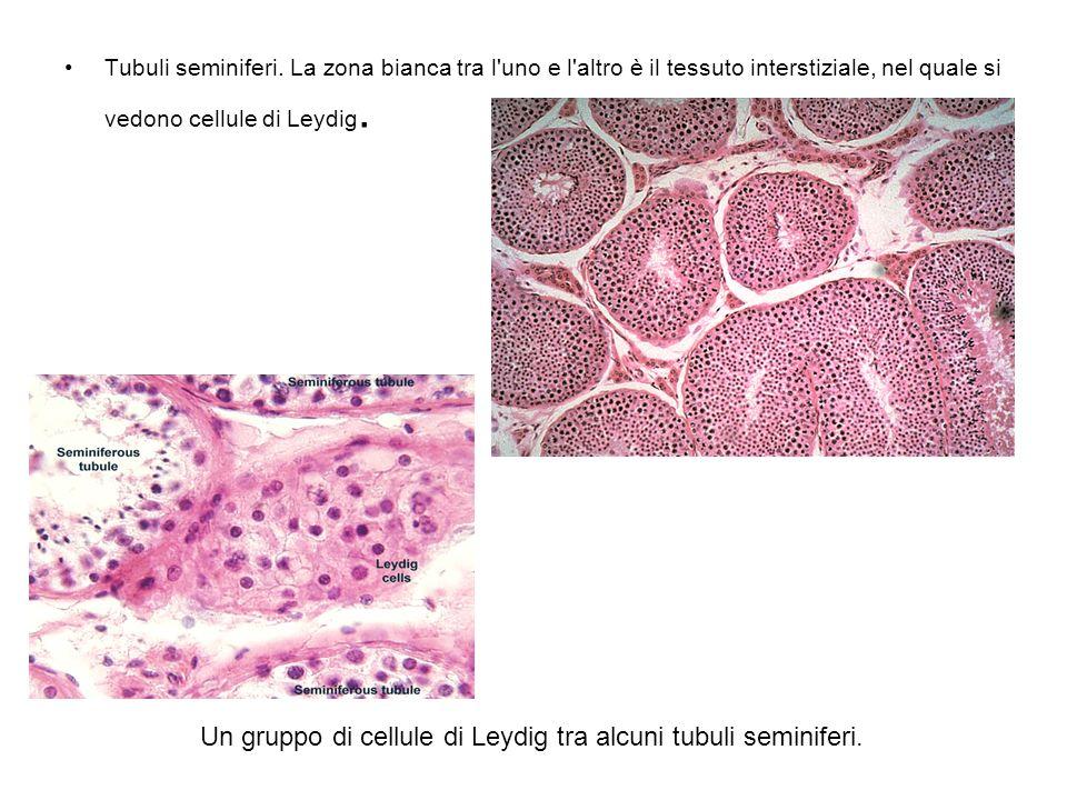 Tubuli seminiferi. La zona bianca tra l'uno e l'altro è il tessuto interstiziale, nel quale si vedono cellule di Leydig. Un gruppo di cellule di Leydi