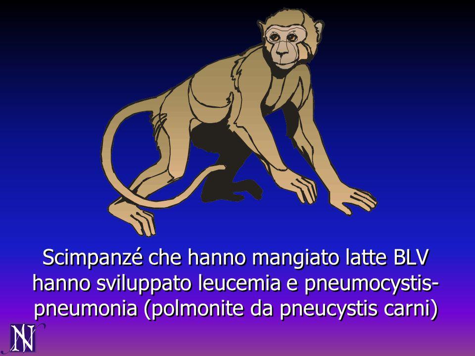 Scimpanzé che hanno mangiato latte BLV hanno sviluppato leucemia e pneumocystis- pneumonia (polmonite da pneucystis carni)