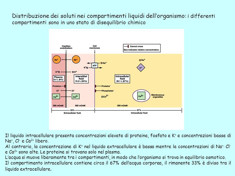 Distribuzione dei soluti nei compartimenti liquidi dellorganismo: i differenti compartimenti sono in uno stato di disequilibrio chimico Il liquido int