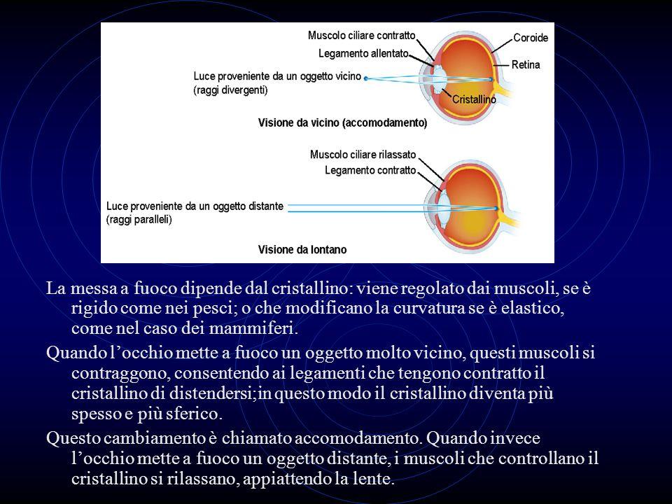 La messa a fuoco dipende dal cristallino: viene regolato dai muscoli, se è rigido come nei pesci; o che modificano la curvatura se è elastico, come ne