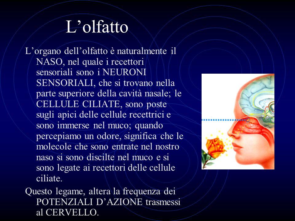 Lolfatto Lorgano dellolfatto è naturalmente il NASO, nel quale i recettori sensoriali sono i NEURONI SENSORIALI, che si trovano nella parte superiore