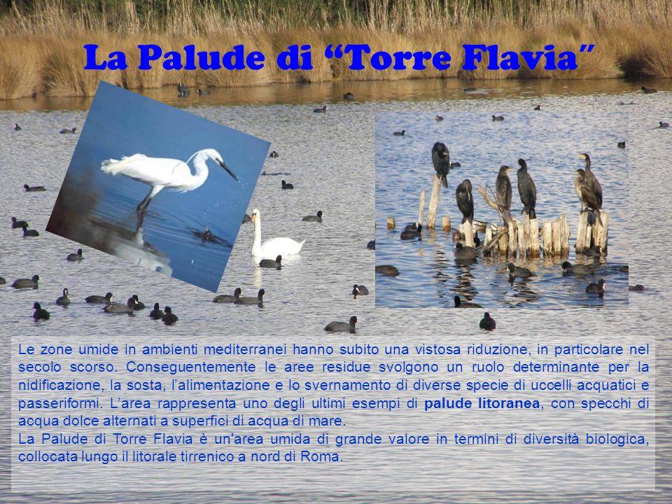 La Palude di Torre Flavia Le zone umide in ambienti mediterranei hanno subito una vistosa riduzione, in particolare nel secolo scorso. Conseguentement