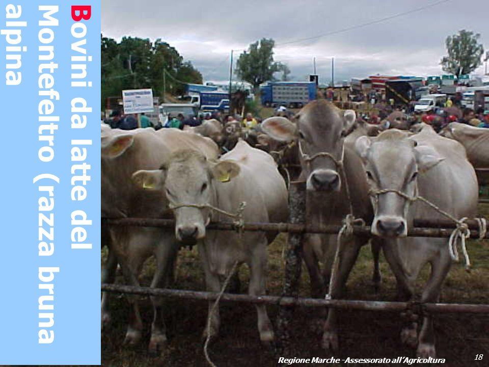 Bovini da latte del Montefeltro (razza bruna alpina 18 Regione Marche -Assessorato allAgricoltura