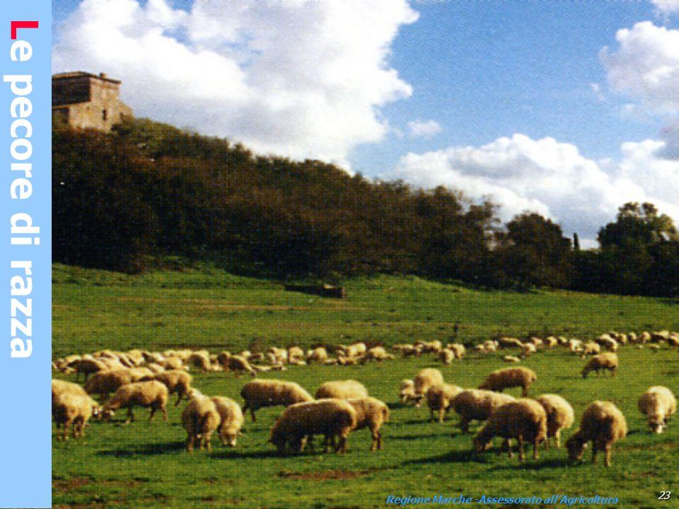 Le pecore di razza Appenninica 23 Regione Marche -Assessorato allAgricoltura