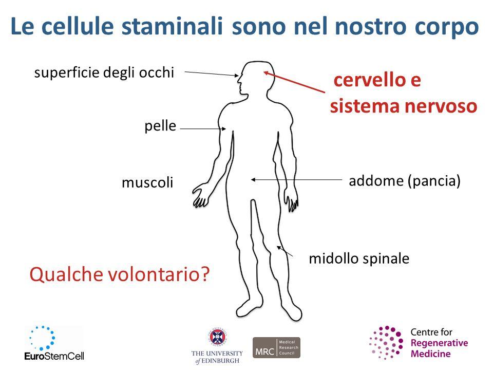 Le cellule staminali sono nel nostro corpo superficie degli occhi cervello e sistema nervoso muscoli addome (pancia) midollo spinale pelle Qualche vol