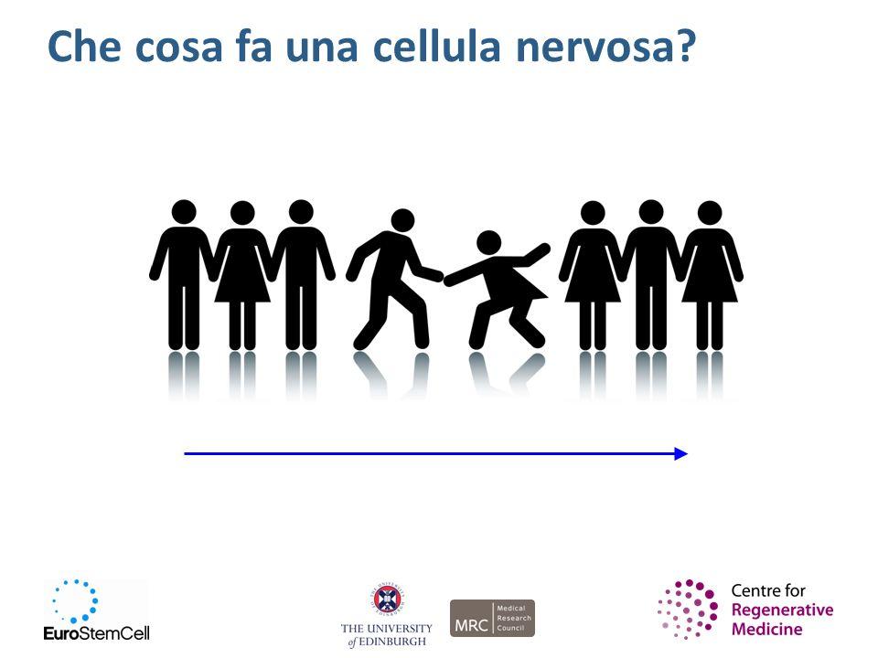 Che cosa fa una cellula nervosa?