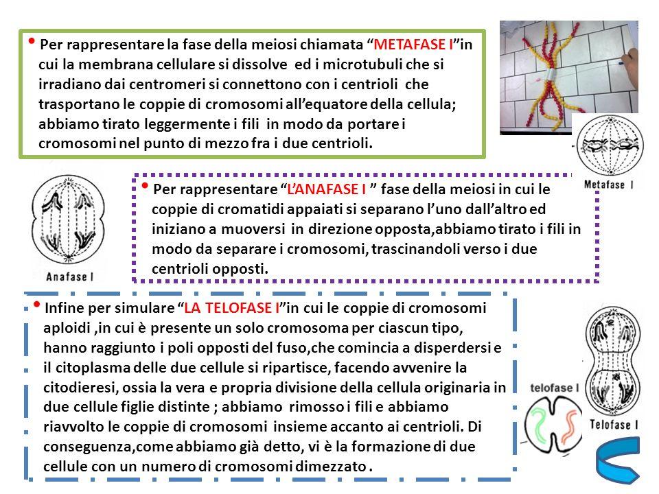 Per rappresentare la fase della meiosi chiamata METAFASE Iin cui la membrana cellulare si dissolve ed i microtubuli che si irradiano dai centromeri si