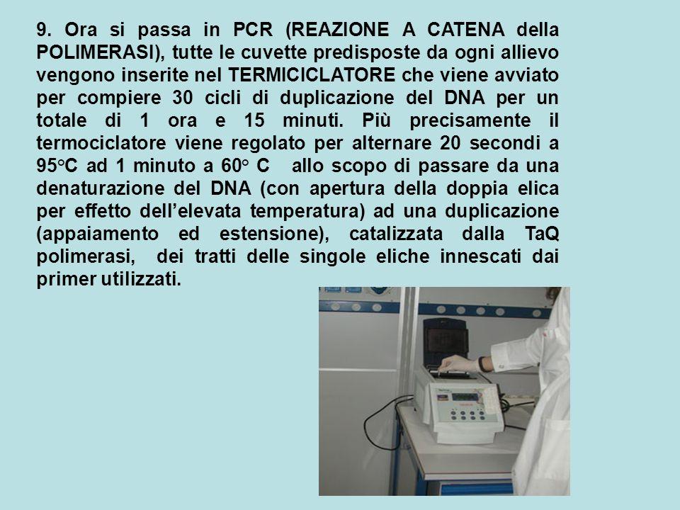 9. Ora si passa in PCR (REAZIONE A CATENA della POLIMERASI), tutte le cuvette predisposte da ogni allievo vengono inserite nel TERMICICLATORE che vien