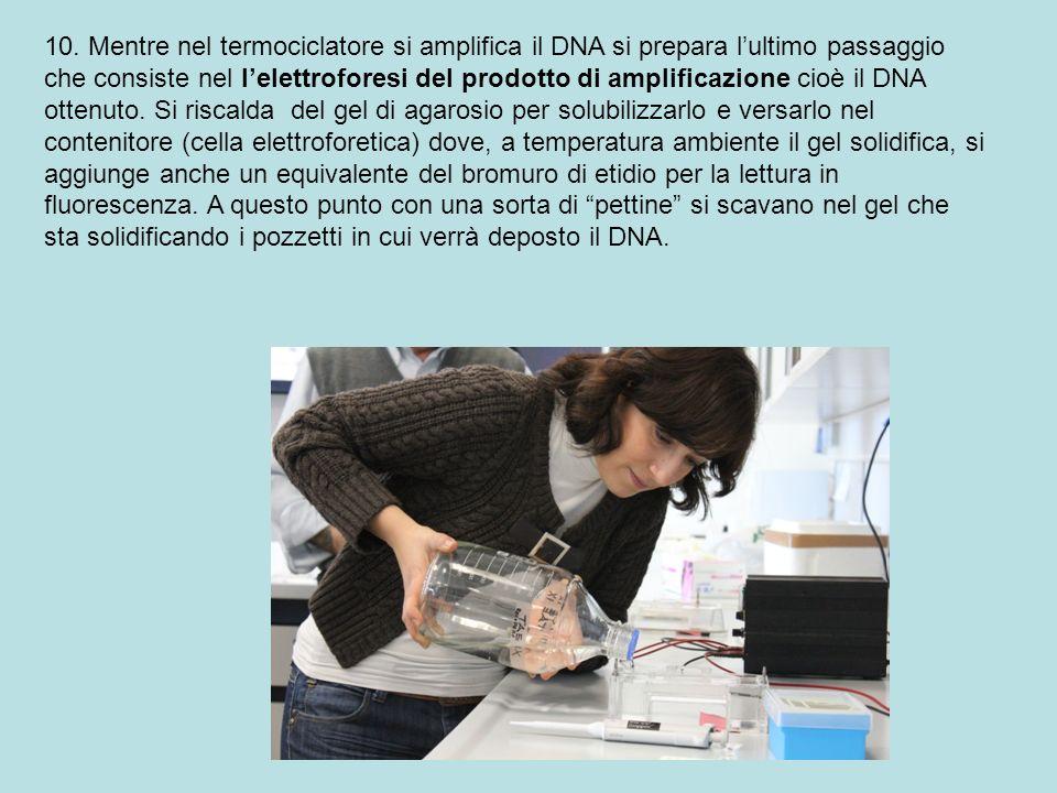 10. Mentre nel termociclatore si amplifica il DNA si prepara lultimo passaggio che consiste nel lelettroforesi del prodotto di amplificazione cioè il