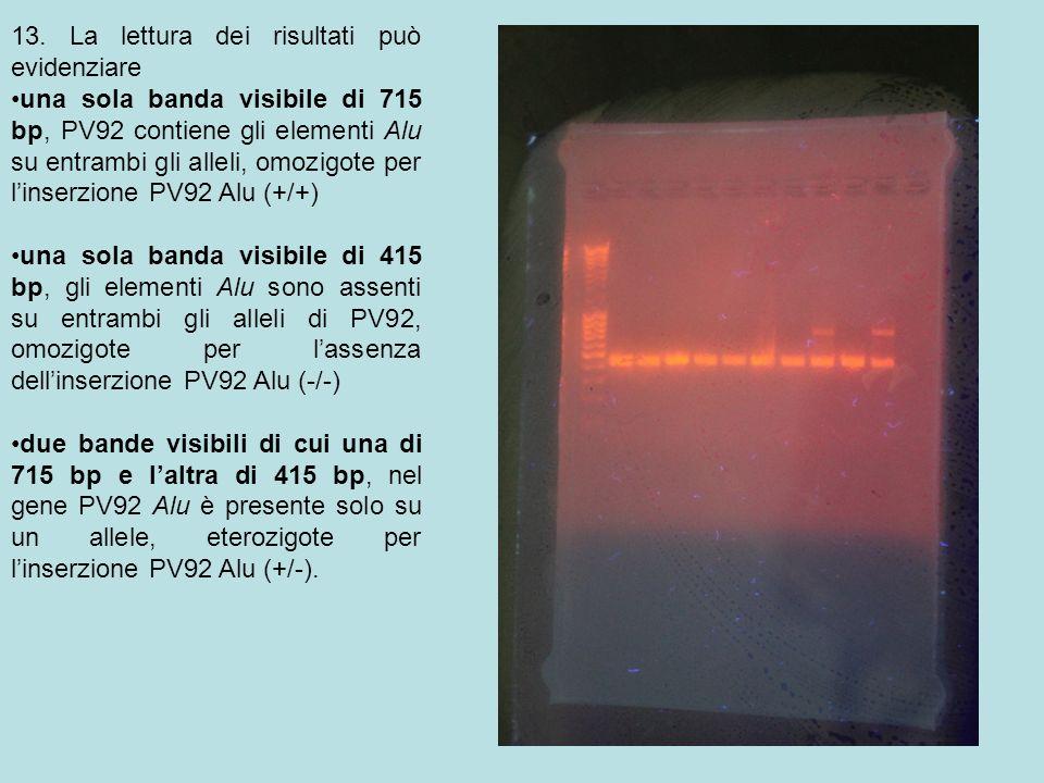 13. La lettura dei risultati può evidenziare una sola banda visibile di 715 bp, PV92 contiene gli elementi Alu su entrambi gli alleli, omozigote per l